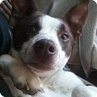 Adopt A Pet :: Kailani - ST LOUIS, MO