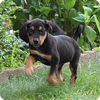 Adopt A Pet :: Gabriel - Millersville, MD