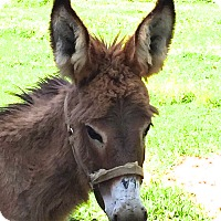 Donkey/Mule/Burro/Hinny Mix for adoption in West Grove, Pennsylvania - Lilac