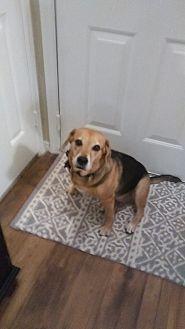 Beagle/Labrador Retriever Mix Dog for adoption in Atlanta, Georgia - Totty