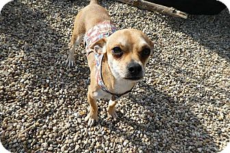 Chihuahua/Terrier (Unknown Type, Small) Mix Dog for adoption in Wyanet, Illinois - Chip