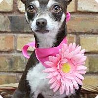 Adopt A Pet :: Bonnie - Benbrook, TX