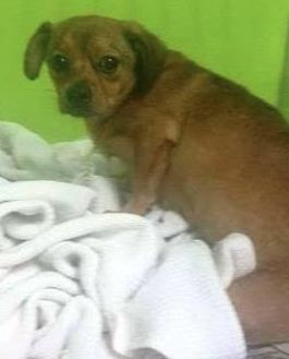 Chihuahua/Shih Tzu Mix Dog for adoption in Denver, Colorado - Buddy