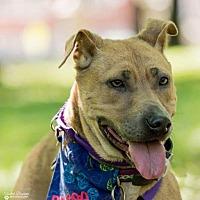 Adopt A Pet :: Briscoe - St. Louis, MO