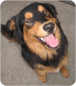 Bernese Mountain Dog/Australian Shepherd Mix Puppy for adoption in Harbor City, California - Bear
