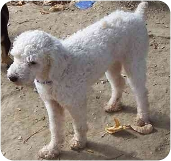Poodle (Miniature) Mix Dog for adoption in Baltimore, Maryland - Forrest