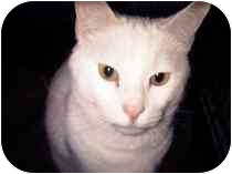 Domestic Shorthair Cat for adoption in Medford, Massachusetts - Blanco