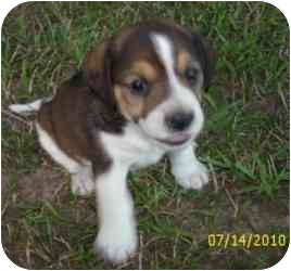 Beagle Puppy for adoption in Lonedell, Missouri - Sidney 1