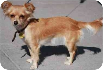 Papillon/Chihuahua Mix Dog for adoption in Gilbert, Arizona - Gidget