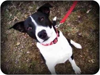 Labrador Retriever/Boxer Mix Dog for adoption in Covington, Kentucky - Romper