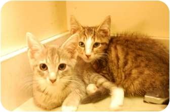 Domestic Shorthair Kitten for adoption in Jacksonville, North Carolina - Lily