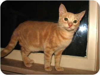 Domestic Shorthair Cat for adoption in Norwich, New York - Dave