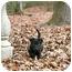 Photo 4 - Labrador Retriever Mix Puppy for adoption in Preston, Connecticut - Gemma