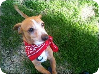 Dachshund Mix Dog for adoption in Rancho Mirage, California - Bandit