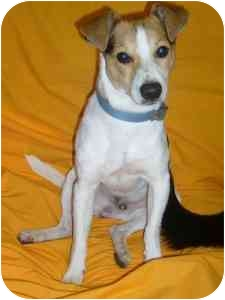 Jack Russell Terrier/Terrier (Unknown Type, Small) Mix Dog for adoption in Portsmouth, Rhode Island - Waylen