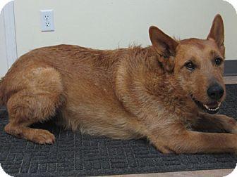 Irish Wolfhound/Shepherd (Unknown Type) Mix Dog for adoption in Republic, Washington - Dingo