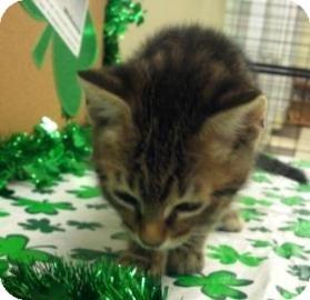 Domestic Shorthair Kitten for adoption in Columbus, Georgia - George 475F