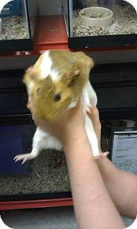 Guinea Pig for adoption in Las Vegas, Nevada - Rose