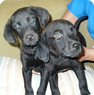 Labrador Retriever/Hound (Unknown Type) Mix Puppy for adoption in Eastpoint, Florida - Fric and Frac