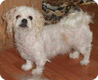 Bichon Frise/Cavalier King Charles Spaniel Mix Dog for adoption in Bellingham, Washington - Billy Jean