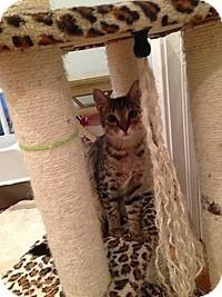 Domestic Shorthair Kitten for adoption in Tampa, Florida - Ernie