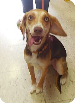 Beagle/Terrier (Unknown Type, Small) Mix Dog for adoption in Pottsville, Pennsylvania - Daisy