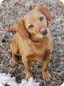 Beagle/Golden Retriever Mix Dog for adoption in Norwich, Connecticut - Maddie