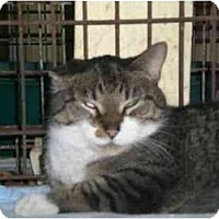 Adopt A Pet :: Hellboy - Lombard, IL