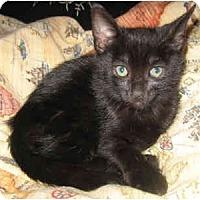 Adopt A Pet :: Snowball #5 - Davis, CA