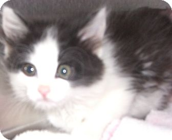 Domestic Mediumhair Kitten for adoption in Canoga Park, California - Kenji