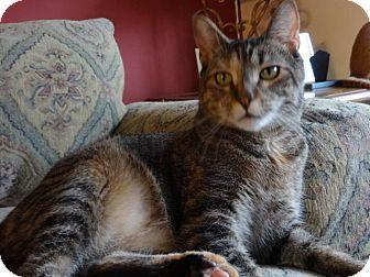 Domestic Shorthair Cat for adoption in Colmar, Pennsylvania - Sonia