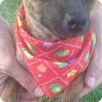 Adopt A Pet :: Cookie - McAllen, TX