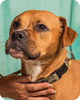 Boxer Mix Dog for adoption in Martinsville, Indiana - Burke