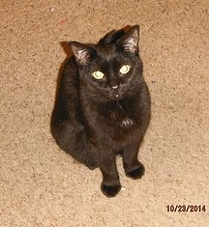 Domestic Shorthair Cat for adoption in Toledo, Ohio - Fancy
