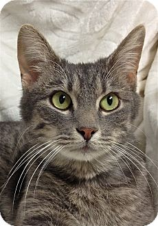 Domestic Shorthair Cat for adoption in South Haven, Michigan - Nick