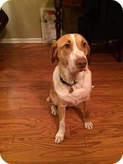 Foxhound/Harrier Mix Dog for adoption in Murfreesboro, Tennessee - Guy