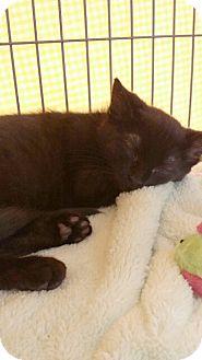Bombay Kitten for adoption in Palm desert, California - Juliet