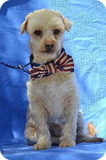 Poodle (Miniature) Mix Dog for adoption in Las Vegas, Nevada - Wally
