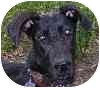 Great Dane Mix Puppy for adoption in Eatontown, New Jersey - Ebony