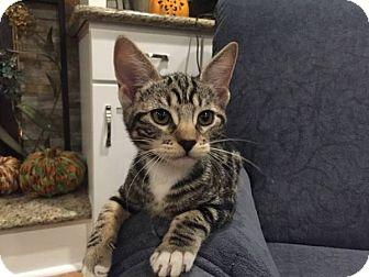 Domestic Shorthair Kitten for adoption in Alamo, California - Bella