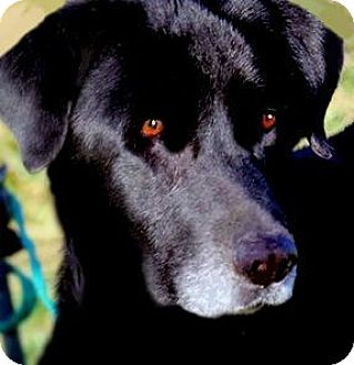 Labrador Retriever Dog for adoption in Wakefield, Rhode Island - MISS CHICA(WHAT A STORY!!!