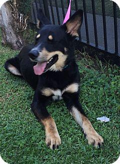 Shepherd (Unknown Type) Mix Puppy for adoption in Poway, California - LOBO