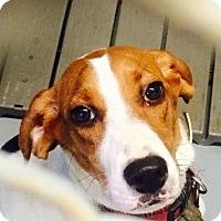 Adopt A Pet :: Duchess - Virginia Beach, VA