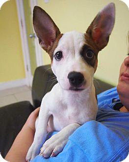 Fox Terrier (Smooth) Mix Puppy for adoption in Philadelphia, Pennsylvania - Mandy