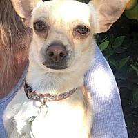 Adopt A Pet :: Mini Bean - Scottsdale, AZ