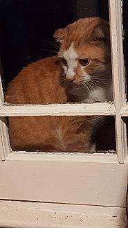 American Shorthair Cat for adoption in Barberton, Ohio - Tom