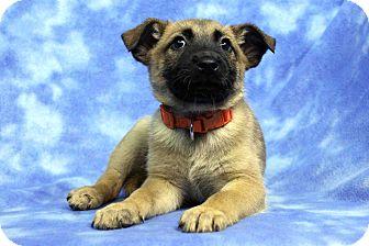 Shepherd (Unknown Type) Mix Puppy for adoption in Westminster, Colorado - Vanderbilt