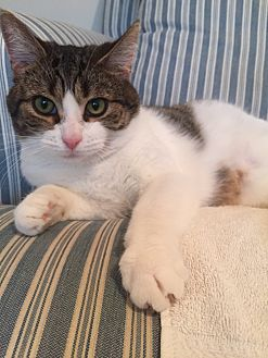 Domestic Shorthair Cat for adoption in Rochester Hills, Michigan - Holly
