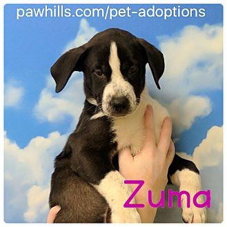 Dalmatian/Shepherd (Unknown Type) Mix Puppy for adoption in Agoura Hills, California - Zuma