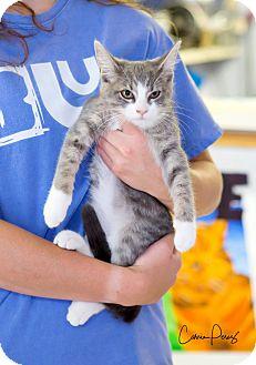 Domestic Shorthair Kitten for adoption in Cape Girardeau, Missouri - Darla